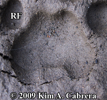 Bobcat track in mud. Photo copyright 2009 Kim                       A. Cabrera.