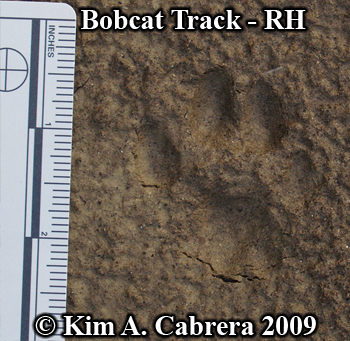 Bobcat track right hind.  Photo copyright Kim A. Cabrera 2009.