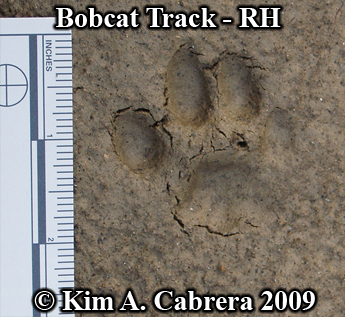 Right hind paw print of a bobcat.  Photo copyright Kim A. Cabrera 2009.