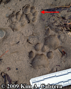 Bobcat and domestic cat tracks. Photo copyright 2009 Kim A. Cabrera.