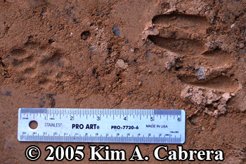 Bobcat and deer tracks. Photo copyright 2005 Kim A. Cabrera.