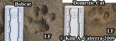 Comparison of bobcat and domestic cat tracks.  Photo copyright Kim A. Cabrera 2009.