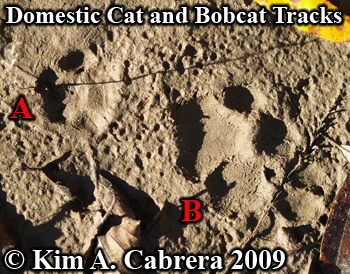 View of bobcat and domestic cat tracks near each other.  Photo copyright Kim A. Cabrera 2009.
