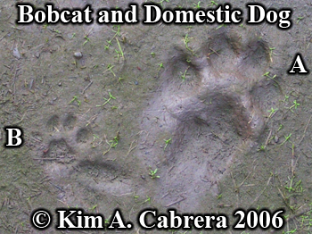 Bobcat and domestic dog tracks side by side.  Photo copyright Kim A. Cabrera 2006.