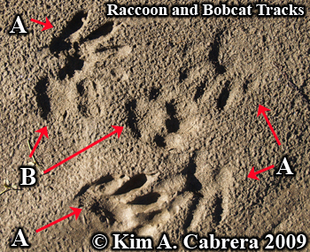 Raccoon and bobcat tracks.  Photo copyright Kim A. Cabrera 2009.