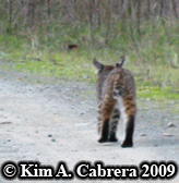 Bobcat I saw on a dirt road in the forest,                       walking away from me. Photo copyright by Kim A.                       Cabrera 2009.