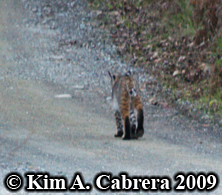 Bobcat                       I saw on a dirt road in the forest, dark paws                       visible. Photo copyright by Kim A. Cabrera 2009.