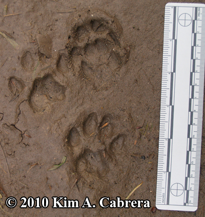 gray fox and bobcat prints compared