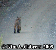 Bobcat I saw on a dirt road in the forest,                       white spots on ears visible. Photo copyright by                       Kim A. Cabrera 2009.