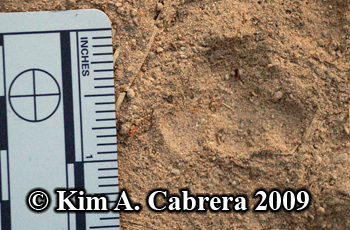 Bobcat track heel pad in dust. Photo                       copyright 2009 Kim A. Cabrera.