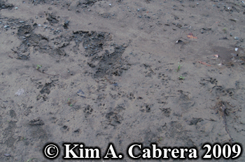 TRacks of a bobcat investigating where a salmon had been.  Photo copyright Kim A. Cabrera 2009.