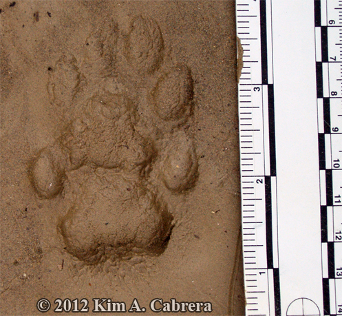 bobcat tracks in mud