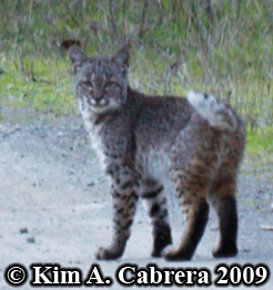 Bobcat I saw on a dirt road in the forest,                       looking right at me. Photo copyright by Kim A.                       Cabrera 2009.