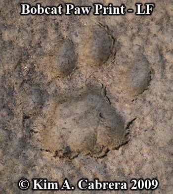 Left front print of a bobcat.  Photo copyright Kim A. Cabrera 2009.