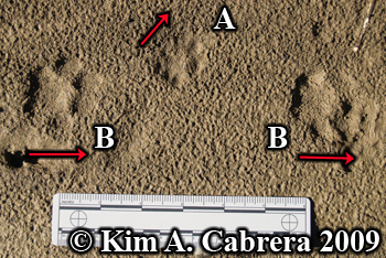 Bobcat and domestic cat paw prints.  Photo copyright Kim A. Cabrera 2009.