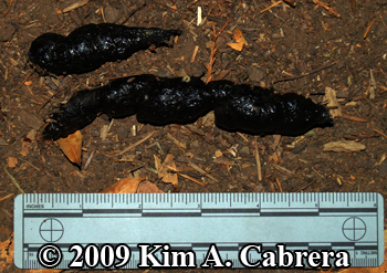 Bobcat scat dark with bloodmeal. Photo copyright 2009 by Kim A. Cabrera.