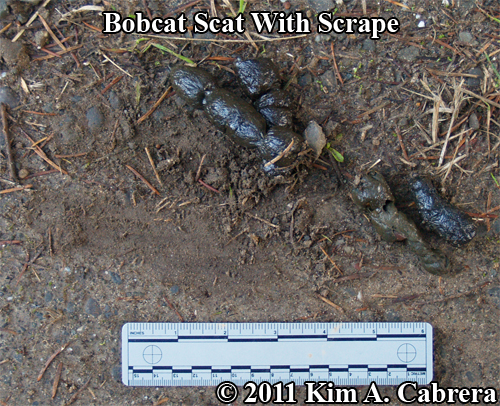 bobcat scat with a large scrape