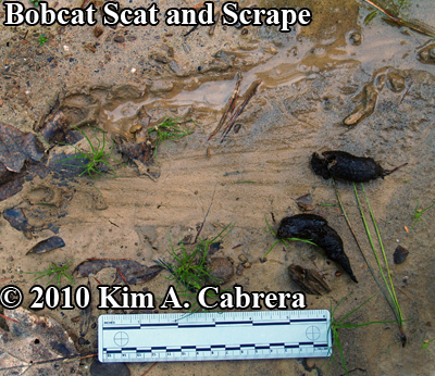 Bobcat scat and scrape in mud, with tracks.  Photo by Kim A. Cabrera.