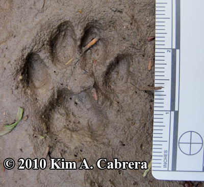 smaller bobcat track in mud