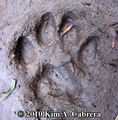 bobcat track close up