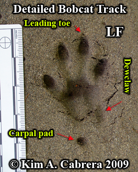 Detailed Bobcat track in sand. Photo                       copyright 2009 Kim A. Cabrera.