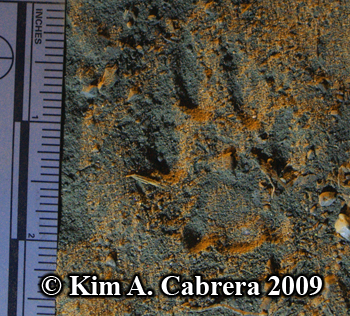 Bobcat track in dust. Photo copyright 2009                       Kim A. Cabrera.