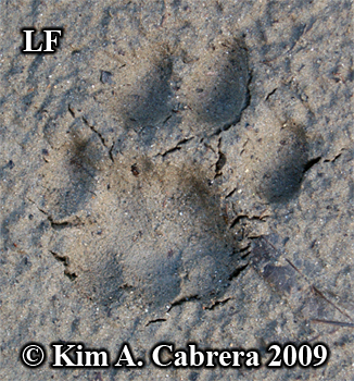 Beautiful left front bobcat pawprint.  Photo copyright Kim A. Cabrera 2009.