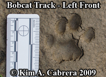 Beautiful and perfect left front track of a bobcat.  Photo copyright Kim A. Cabrera 2009.