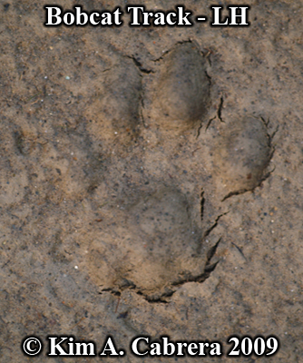 Left hind footprint of a bobcat.  Photo copyright Kim A. Cabrera 2009.