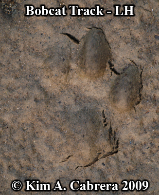 Partial left hind bobcat print.  Photo copyright Kim A. Cabrera 2009.