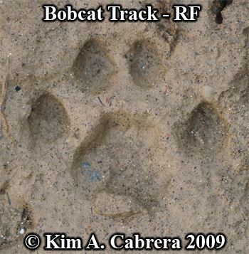 Right front bobcat track in mud.  Photo copyright Kim A. Cabrera 2009.