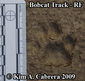 Detailed right front bobcat track.  Photo copyright Kim A. Cabrera 2009.