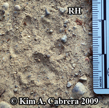 Right hind bobcat track. Photo copyright 2009                       Kim A. Cabrera.