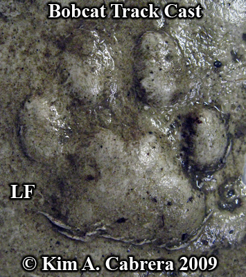 Beautiful cast of a left front bobcat track.  Photo copyright Kim A. Cabrera 2009.