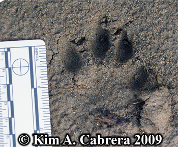 Bobcat track with deep toe impressions.  Photo copyright Kim A. Cabrera 2009.