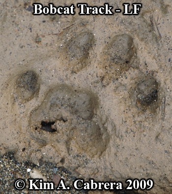 Left front bobcat track in mud.  Photo copyright Kim A. Cabrera 2009.