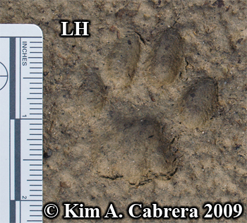 Left hind bobcat track.  Photo copyright Kim A. Cabrera 2009.