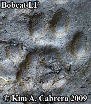 Left front bobcat footprint. Photo copyright 2009 Kim A. Cabrera.