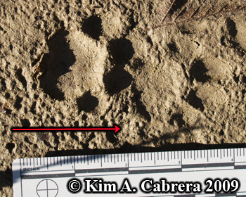 Pair of bobcat tracks in overstep walk.  Photo copyright Kim A. Cabrera 2009.