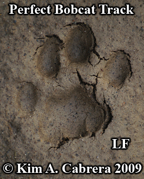 perfect bobcat track left front paw.  Photo copyright Kim A. Cabrera 2009.