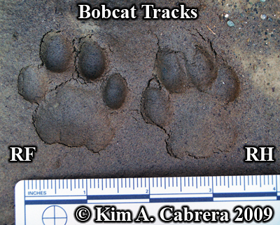 Perfect pair of bobcat tracks. Photo copyright Kim A. Cabrera 2009.