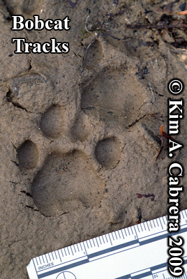 Bobcat tracks in mud. Photo copyright 2009                       Kim A. Cabrera.