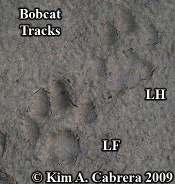 pair of tracks from bobcat left feet.  Photo copyright Kim A. Cabrera 2009.