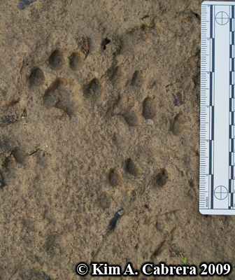 Jumble of bobcat tracks.  Photo copyright Kim A. Cabrera 2009.