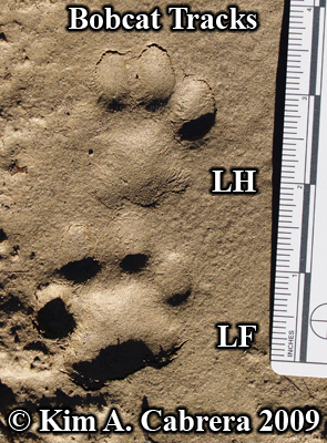 Pair of left foot tracks from a bobcat.  Photo copyright Kim A. Cabrera 2009.