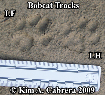 Left side tracks of a bobcat.  Photo copyright Kim A. Cabrera 2009.