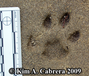 Bobcat pawprint in sand. Photo copyright 2009                       Kim A. Cabrera.
