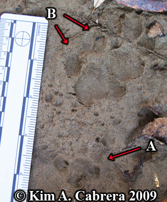 bobcat and domestic cat paw prints next to each other.  Photo copyright Kim A. Cabrera 2009.