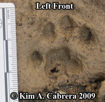 Deep left front bobcat track in mud.  Photo copyright Kim A. Cabrera 2009.
