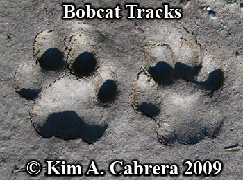 Nice pair of perfect bobcat tracks in sun.  Photo copyright Kim A. Cabrera 2009.